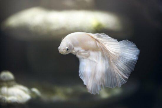 Bojownik syjamski, czyli piękna rybka dla każdego