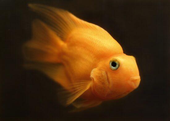 Złota rybka – co warto w widzieć zanim zdecydujemy się na jej kupno?