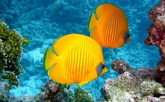 Ryba brosma – charakterystyka
